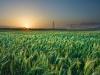 Grain field - گندم زار
