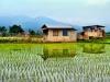 Rice field - شاليزار